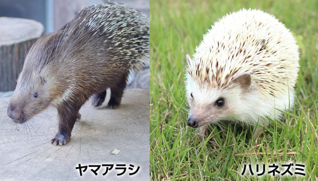 ヤマアラシ/ハリネズミ比較